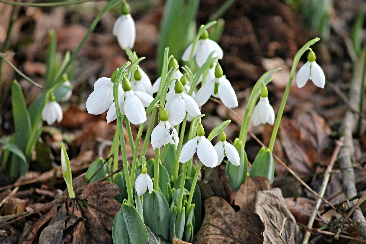 Why Not Take A Snowdrop Walk In The Beauty Of The Lakes?